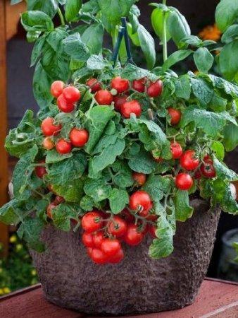 busch-tomate-red-robin-10-samen-balkon-topf-tomate