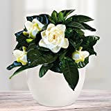Gardenia with White pot Dida - 1 set
