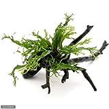 (水草)ミクロソリウム ウェンディロフ 枝状流木 Mサイズ(約20~25cm)(1本) 本州・四国限定[生体]