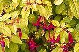 Fuchsia 'Genii' plant in a 13cm pot. Hardy Perennial.