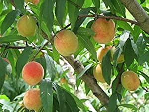 Amazon.com : Real - 10 Peach Tree Seeds : Patio, Lawn & Garden
