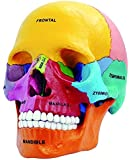 4D Vision Didactic Exploded Skull Model 1/2 4D Master