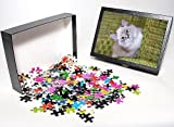 51X5HCqwV6L. SL160  Photo Jigsaw Puzzle of RK D 93816 Kitten white with grey tabby markings resting in wicker chair from Ardea Wildlife Pets