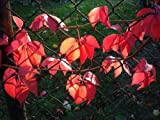 Parthenocissus quinquefolia (Virginia Creeper) 3 ltr pot