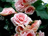 Pale Pink Begonia Flower Seeds 50 Stratisfied Seeds with Instructions