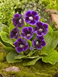 25+ Gloxinia Purple Empress Flower Seeds / for the Garden or Houseplant