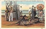 Catalina Island California Broadbill Swordfish on pier antique pc Z12782
