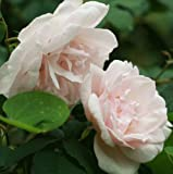 Rosa Climbing Rose 'MADAME A. CARRIERE' Bare Root