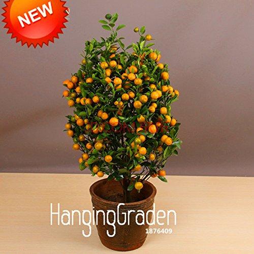 promozione-100pcs-lot-balcone-alberi-patio-vaso-di-frutta-semi-piantati-kumquat-semi-di-mandarino-ci