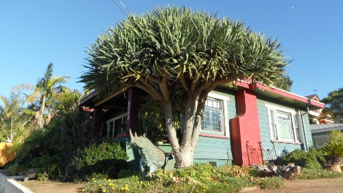 Dragon Tree-Dracaena draco 10+ Seeds