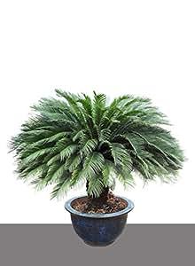 seedeo japanischer palmfarn cycas revoluta 2 samen. Black Bedroom Furniture Sets. Home Design Ideas