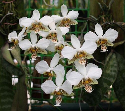 1 Plant Orchids Species - Phalaenopsis Stuartiana