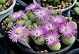 164.プリッとしたお尻のような形が魅力のギバエウム・銀光玉。育てるのは簡単では無いのですが、可愛い花が咲いた時の感動は...!体験してみて下さい(^^♪(GIBBAEUM HEATHII) 10粒 [並行輸入品]