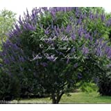 Vitex Angus Castus Tree 25 Seeds Chaste Tree