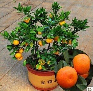 100-parti-semi-bag-alberi-da-frutto-piantati-bonsai-alberi-sempreverdi-kumquat-semi-semi-di-arancia