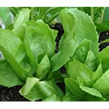 Escarole (Endive) Seeds- Batavian Full Heart- 300+ Seeds