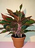 "Siam Aurora Chinese Evergreen Plant - Aglaonema - Grows in Dim Light - 6"" Pot"