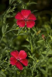 "(PDI)~~""BRILLIANCY"" DIANTHUS~Seed!!!~~~~Perennial Blooms from Spring to Autumn!"