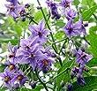 Pack x6 Solanum Crispum 'Glasnevin' Potato Vine Perennial Garden Plug Plants
