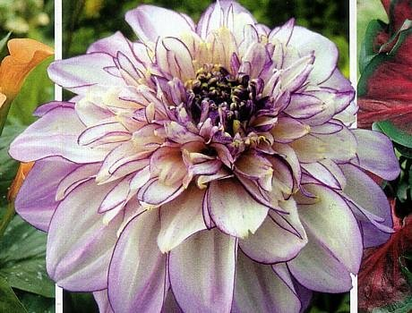 Buy Brindisi Powder-Puff Dahlia: Soft Lavender-Pink