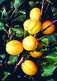 Apricot (Prunus) 'Golden Glow' Tree in a 7L Pot (Bush)