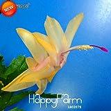 プロモーション!24色ありレアシャコバサボテン種子盆栽花シャコバサボテンTruncatus種子100個/袋、#21YYK2