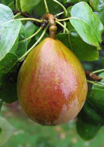 1x 3-4ft Dwarf Pyrus Buerre Hardy Pear Tree - Mini Fruit Tree - 5l