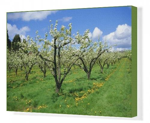 canvas-print-of-blossom-on-pear-trees-in-orchard-holt-fleet-worcestershire-england-uk
