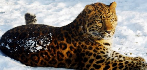 EXTRA LARGE LEOPARD IN THE SNOW CANVAS ART mounted ready to hang 42 x 20 inches (106 X 51 CM)