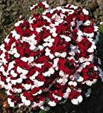 Grow Your Secret Garden Nemesia Danish Flag Seeds- Bicolour