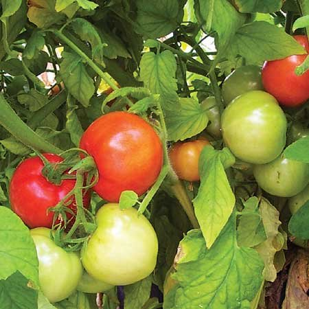 Ne Seed Red Ripe F1 Hybrid Tomato Seeds 500 Seeds