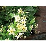 緑のカーテン テイカカズラ(定家葛) (大株) 星型花 スタージャスミン 香りよし つる性常緑低木