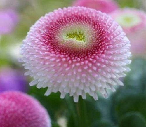 Pink English Daisy (Bellis) Daisy 100 Seeds Upc 643451294712