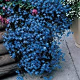 Lobelia Fountain - Blue Nice Garden Flower 400 Seeds