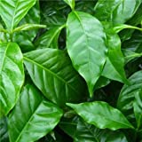 Cross Common Nursery Coffea arabica (Coffee bush)