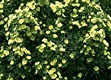 FATHER HUGO ROSE - ROSA HUGONIS - GREAT FEATURE ROSE - 8 SEEDS