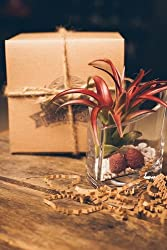 Hinterland Trading Air Plant Terrarium Heart Vase Perfect Valentine's Day Gift! Velutina Tillandsia with Strawberry Seashells Gift Boxed by Hinterland Trading