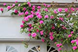 Pink Climbing Rose Flower Seeds by National Gardens