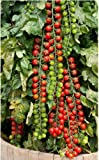 Vegetable seeds Cherry tomatoes seeds   Pack of 50 Seeds sold by Seedscare India