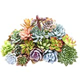 Gracefulvara 400pcs Rare Mixed Succulent Seeds Lithops Living Stones Plants Cactus Plant
