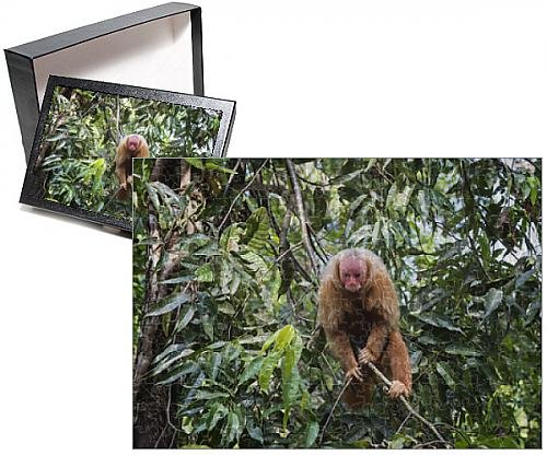 Photo Jigsaw Puzzle of Red bald-headed Uakari monkey also known as British Monkey (Cacajao calvus (Bald Headed compare prices)