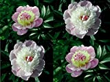 (HPT *Ambizu*) 5 Seeds / Pack, the Rarest Chinese Herbaceous Peony Tree Seeds