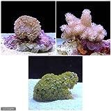(海水魚 サンゴ)飼育しやすいサンゴセットB 本州・四国限定[生体]
