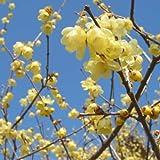ロウバイ:素心(ソシン)ロウバイ5号ポット[春の訪れを告げる早春花木。甘い香りが漂います]