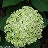 Amazon / Hirts: Trees & Shrubs; Hydrangea: Lime RickeyTM Smooth Hydrangea - 4 Pot - Hydrangea arborescens SMNHALR