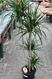 Indoor Plant -House or Office Plant -Dracaena marginata - Madagascar Dragon Tree 1.9m