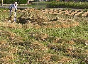 無農薬 有機栽培 天日干し 稲ワラ 1.5kg 約5束 藁 わら ワラ