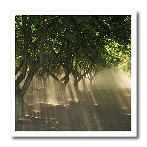 ht_93591_1 Danita Delimont - Sunbeams - Oregon, Portland. Sunbeams through hazelnut trees - US38 BJA0469 - Jaynes Gallery - Iron on Heat Transfers - 8x8 Iron on Heat Transfer for White Material