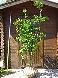 ソヨゴ 樹高1.8m 株立ち