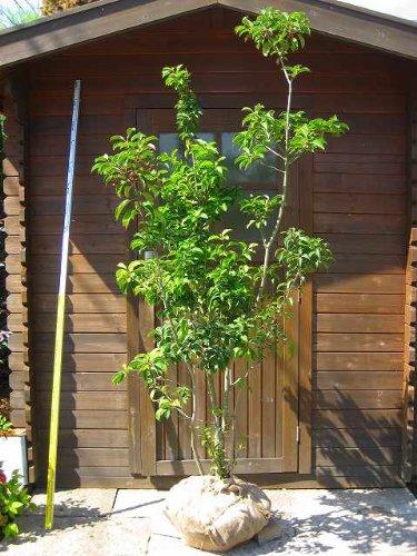 ソヨゴ 樹高1.8m 高価な株立ち【雄雌選択不可】
